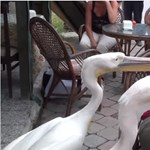 Ételt követelő pelikánok: a fél világ ezen a turistán nevethet – videó