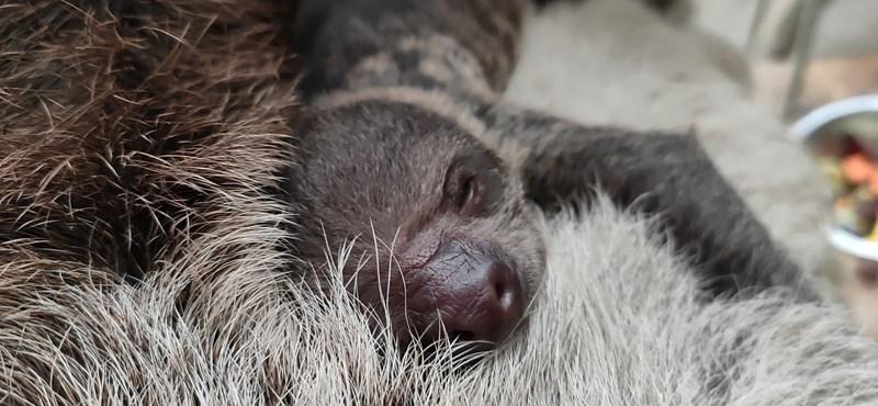 Az állatkertben szerencse kell hozzá, mi viszont megmutatjuk az új lajhárbébit