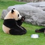 Bajban vannak az óriáspandák, ha randizni kell
