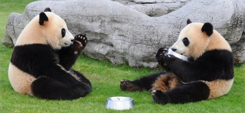 Túl lusták párzani, segíteni kell a skóciai óriáspandáknak