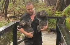 Az eső is csak bajt hoz a koalákra, meg aligátorokat – videó
