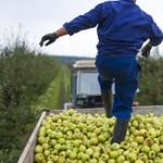 Annyira kellenek a német mezőgazdaságnak a kelet-európaiak, hogy lazítanak a járványügyi szabályokon