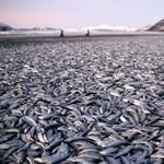 Húsz tonna döglött heringet találtak Norvégia partjainál
