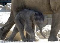 Samu lesz a fővárosi állatkert kiselefántja