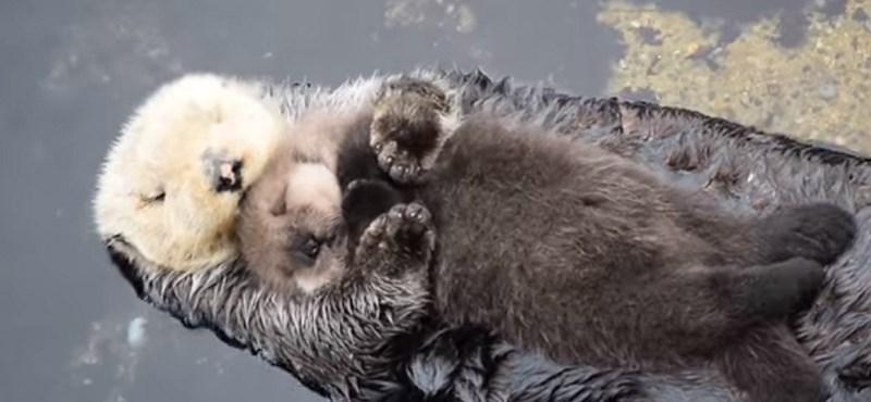 Cukiság túladagolás: így szundít vízen lebegő anyja hasán az újszülött vidra