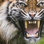 Egy hónapon belül öt embert ölt meg tigris Indonéziában