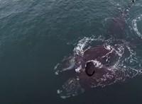 Nézze meg, hogy öleli egymást két kritikusan veszélyeztetett bálna