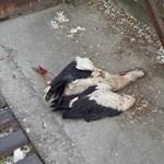 Újabb részletek derültek ki az iskolánál kivégzett gólyáról