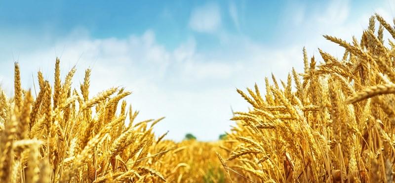 Veszélybe kerülhet a gabonatermelés?