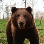 Megtámadta egy cirkuszi medve az idomárt, miután talicskát kellett tologatnia