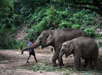 Műanyagszemetet evett, meghalt egy thai nemzeti park elefántja