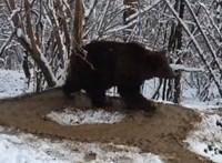 Lehangoló látvány, ahogyan a 20 év rabság után kiszabadított medve még mindig a megszokott köreit rója