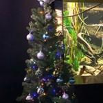 Miguel, az elektromos angolna termeli az áramot, hogy világítsanak az égők ezen a karácsonyfán
