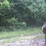 Így lépnek meg a belfasti állatkert csimpánzai