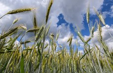 Éhínséggel fenyegetnek a világjárvány miatti exportkorlátozások