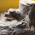 Egy kengurut a süti mellé? – Támadják az állatokat simogatásra felszolgáló kávézót