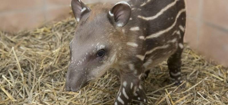 Cuki tapír született Debrecenben