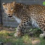 Nézegessen leopárdot élőben!