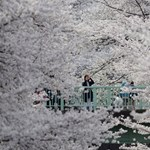 Virágba borult fákat ültetnek Angliában a megemlékezés és a remény szimbólumaiként