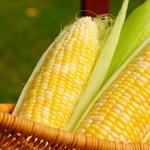 Tönkrevágta a hőség a kukoricatermés egy részét