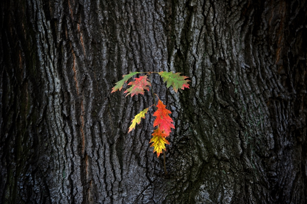 Fák világnapja - GERMANY, PILLNITZ : Colored leaves hang on a tree at the garden of Pillnitz Castle near Dresden, eastern Germany, on October 23, 2012. Meteorologists forecast sinking temperatures, fog and clouds for the region
