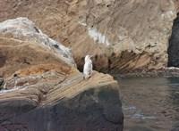 Ritka fehér pingvint láttak a Galápagos-szigeteken – videó