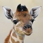 Fotó: újabb kiszsiráf született a Fővárosi Állatkertben