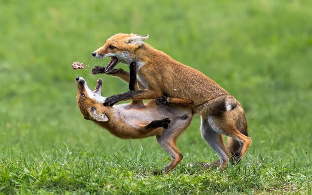 NE HASZNÁLD! - canon év természetfotósa, természetfotó, III. Az emlősök viselkedése, 2. díj - Gladiátorok