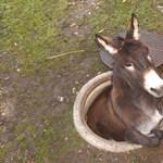 Nagyon szűk helyre szorult be egy szamár Svájcban – fotó