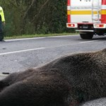 Medvét ütött el egy autó Szlovákiában, egy ember meghalt