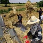 Ebből nagy baj lehet: csökkenti a rizs tápanyagtartalmát a klímaváltozás
