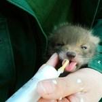 Fotók: elárvult rókabébit nevelgetnek Budakeszin