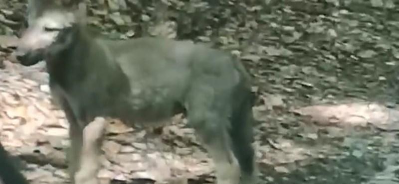 A Bükkben kószáló farkaskölyköt vettek videóra
