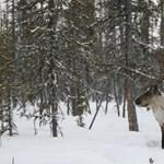 Rémisztően pusztítja a rénszarvasokat a klímaváltozás