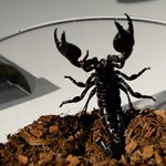 Skorpió is érkezett egy kerámiaszállítmánnyal Veszprémbe