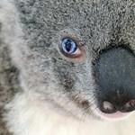 Felemás szemének köszönheti világhíres nevét egy ausztrál koala - fotó