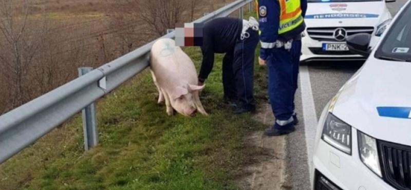 Megmenekült az autópályához tévedt disznó, de aztán levágták