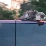 Videó: egy 100-zal hajtó kocsi tetején volt egy macska