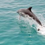 Rákkeltő anyagok veszélyeztetik a La Manche csatorna delfinjeit