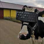 VR-szemüveggel legelnek az orosz tehenek