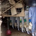 Madárinfluenza: Magyarország egyelőre fellélegezhet
