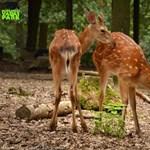 Ritka szarvasfélével bővült a Budakeszi Vadaspark állománya