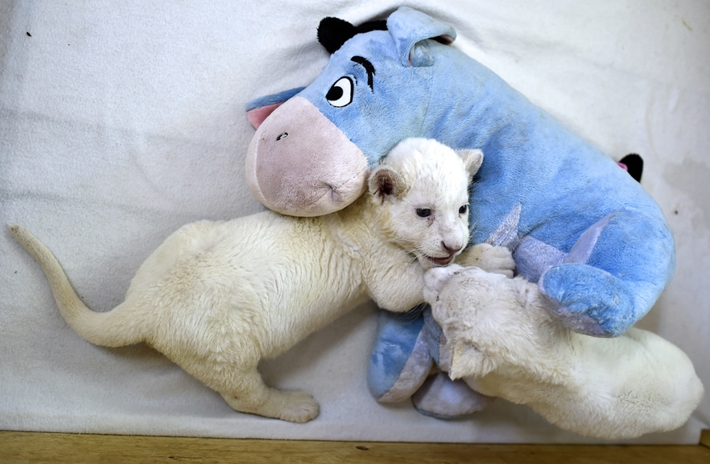 afp. 2014. állatos nagyítás, fehér oroszlán kölykök 2014.10.20. Szerbia, Belgrád,  Two three weeks old white lion cubs play with a soft donkey toy are seen at the Belgrade Zoo on October 20, 2014. The two white lion cubs, an extremely rare subspecies of t