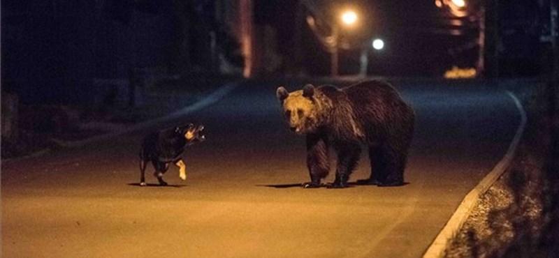 Újabb súlyos medvetámadás Székelyföldön