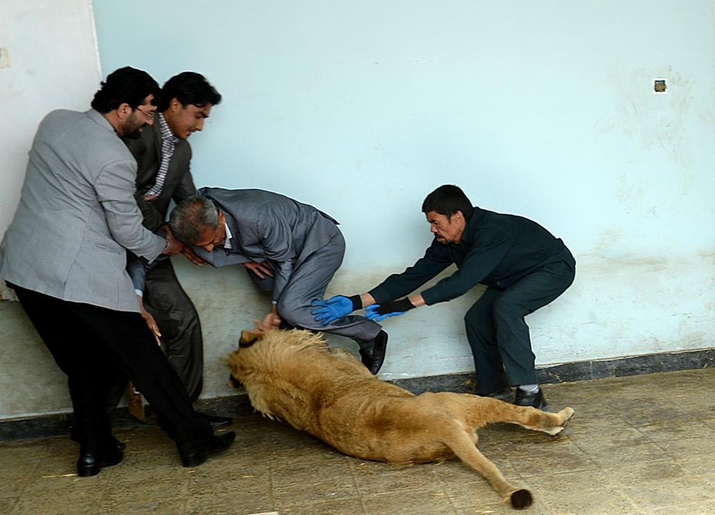 afp.14.03.18. - Kabul, Afganisztán: Marjan, a helyi állatkert új oroszlánja játszik ketrecében - 7képei