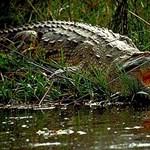 Krokodilt találtak egy frankfurti ipartelepen