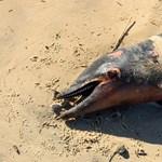Sokkoló látvány: 1100 megcsonkított delfint mosott partra a víz Franciaországban év eleje óta