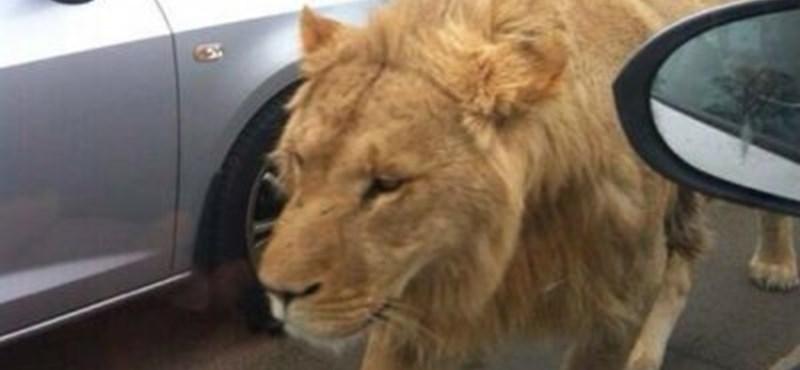 Négy afrikai oroszlán a szabadságot választotta