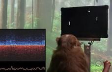 Tudósok bírálják Elon Muskot, amiért chipet rakott egy majom agyába