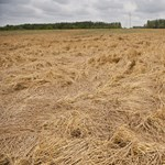 Eltűnhet Magyarországról egy gabonafajta a klímaváltozás miatt